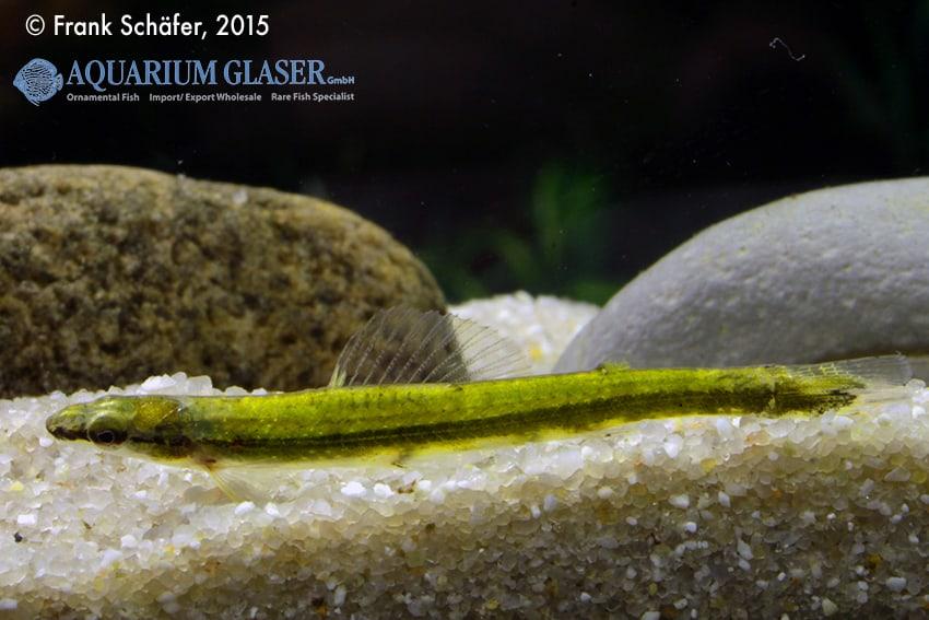 Ammocryptocharax elegans - Grüner Pfeilsalmler 6