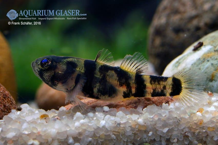 Brachygobius sp. - Ozelot-Goldringelgrundel 2