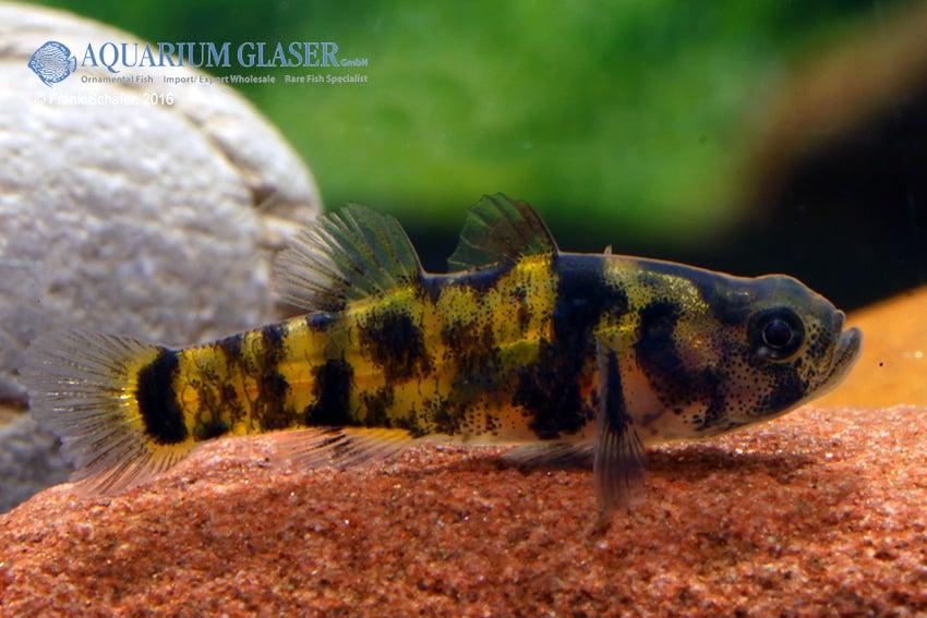Brachygobius sp. - Ozelot-Goldringelgrundel 3