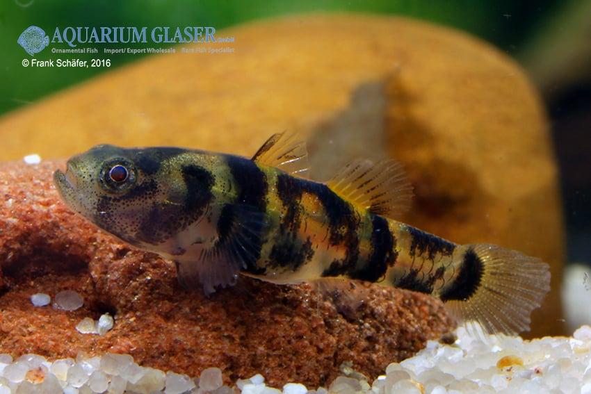 Brachygobius sp. - Ozelot-Goldringelgrundel 4