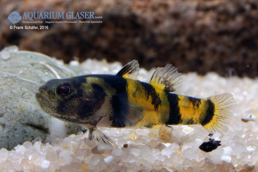 Brachygobius sp. - Ozelot-Goldringelgrundel 5