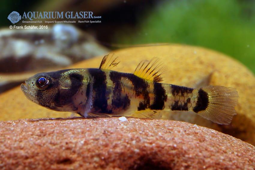 Brachygobius sp. - Ozelot-Goldringelgrundel 6