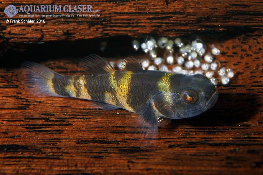 Brachygobius sp. - Ozelot-Goldringelgrundel 8