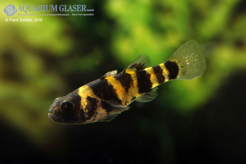 Brachygobius sp. - Ozelot-Goldringelgrundel 9