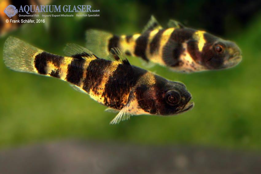 Brachygobius sp. - Ozelot-Goldringelgrundel 10