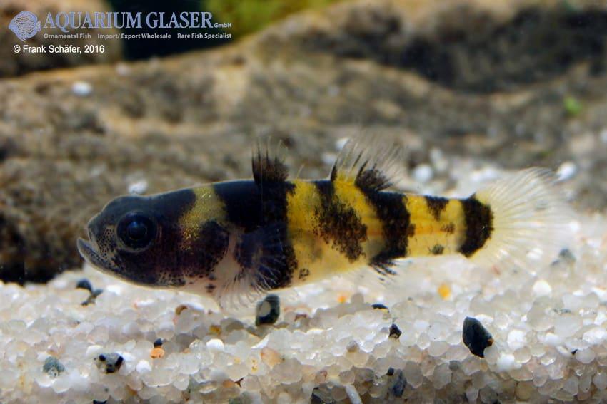 Brachygobius sp. - Ozelot-Goldringelgrundel 11