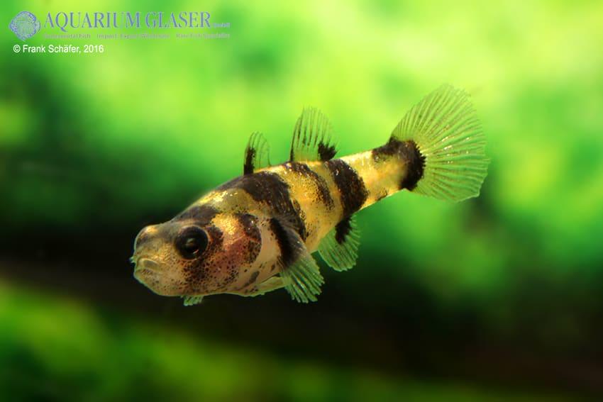 Brachygobius sp. - Ozelot-Goldringelgrundel 12