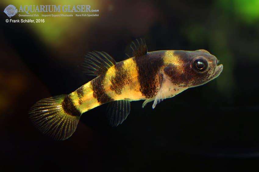 Brachygobius sp. - Ozelot-Goldringelgrundel 13