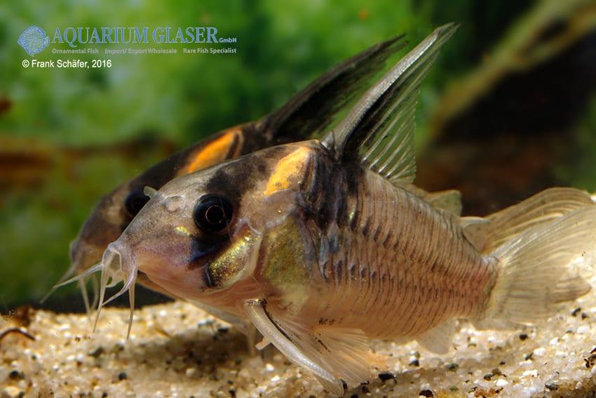 Corydoras sp. CW045 - Jutai-Panzerwels 4
