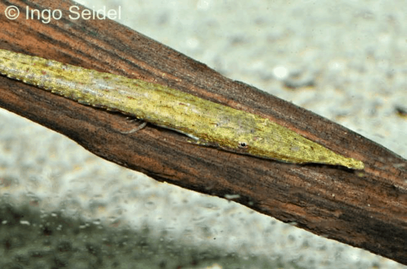 Acestridium discus - Zwergnadelwels2