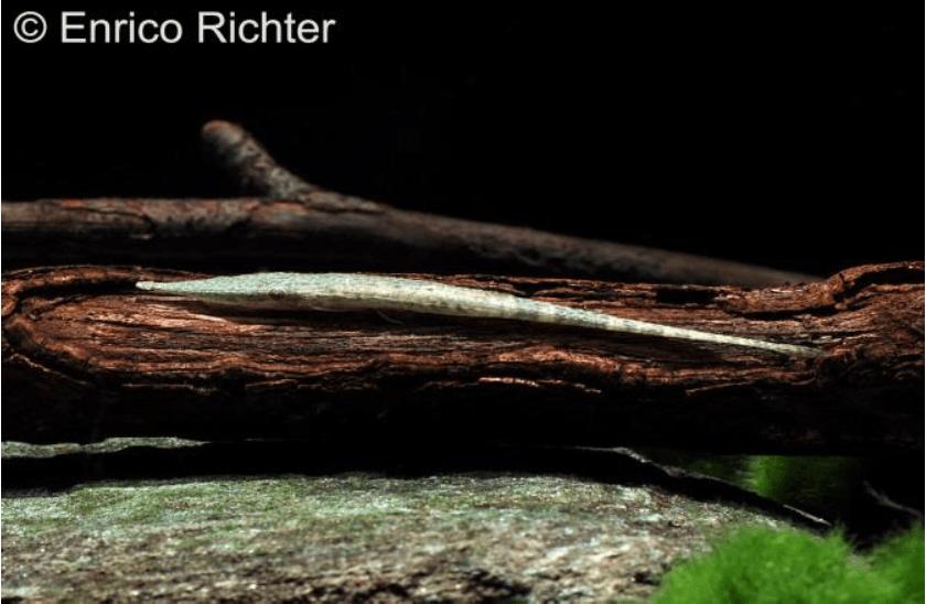 Acestridium discus - Zwergnadelwels 1