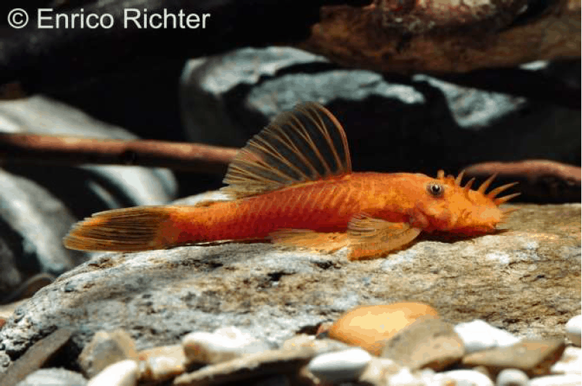 Ancistrus sp. - roter Antennenwels 1