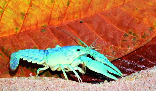 Foto: Ein blauer Kalikokrebs in seiner ganzen Pracht im Fotobecken, die Tiere haben durchaus Potenzial als Aquarienpfleglinge. Uwe Dost