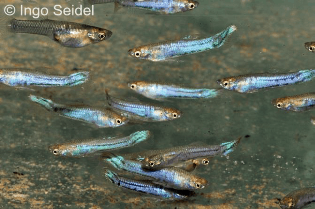 Melanzona blau - Quelle: aqua-global - Dr. Jander & Co. OHG