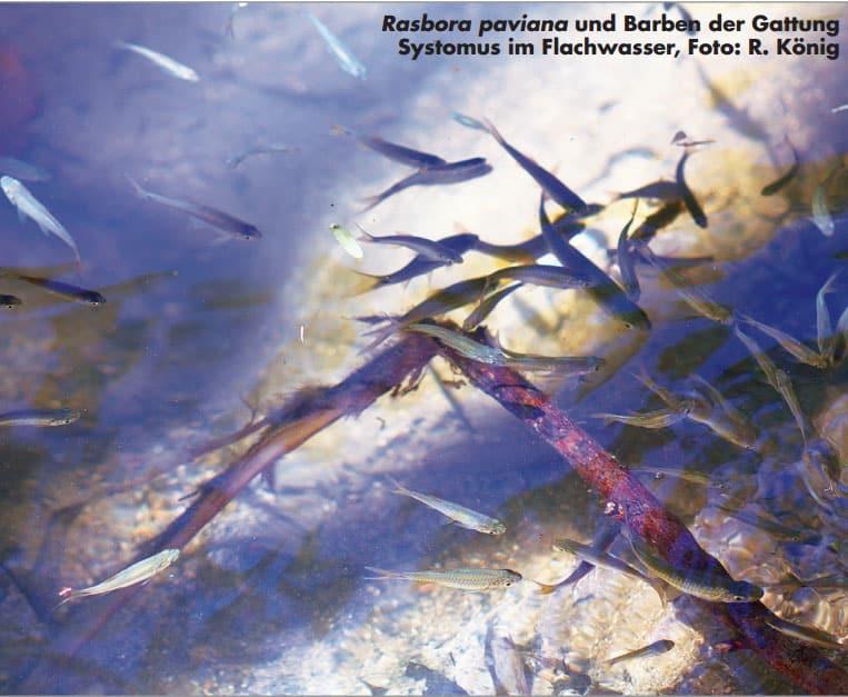Rasboren hielten sich gern in der Strömung auf. Foto: Rainer König