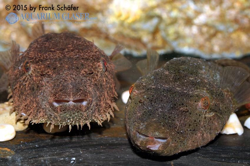 Tetraodon baileyi - Fetzen-Kugelfisch 3