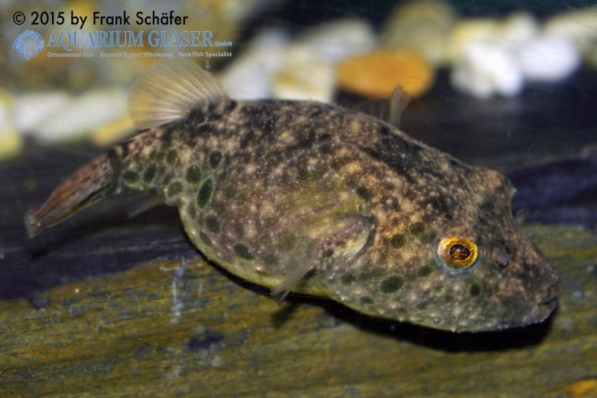 Tetraodon baileyi - Fetzen-Kugelfisch 4