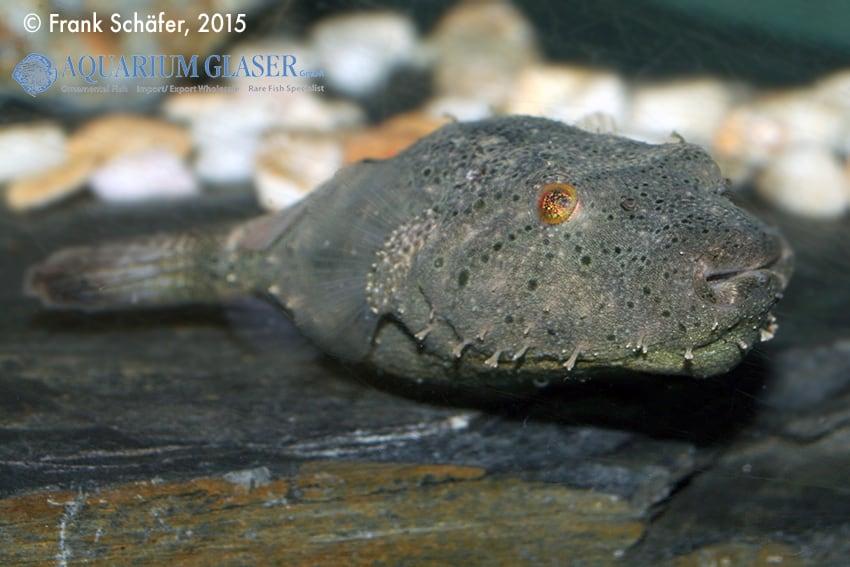 Tetraodon baileyi - Fetzen-Kugelfisch 5