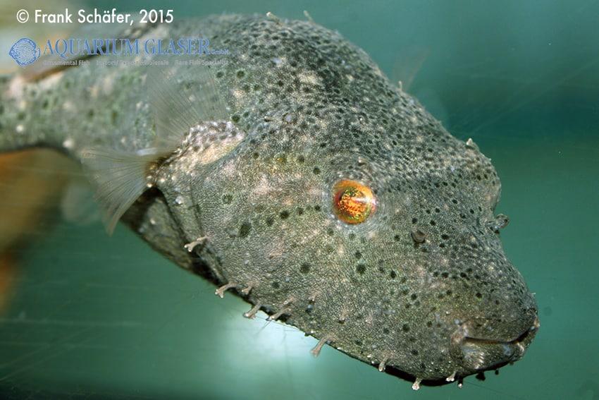 Tetraodon baileyi - Fetzen-Kugelfisch 6