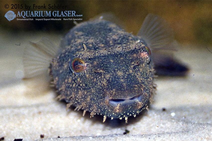 Tetraodon baileyi - Fetzen-Kugelfisch 8