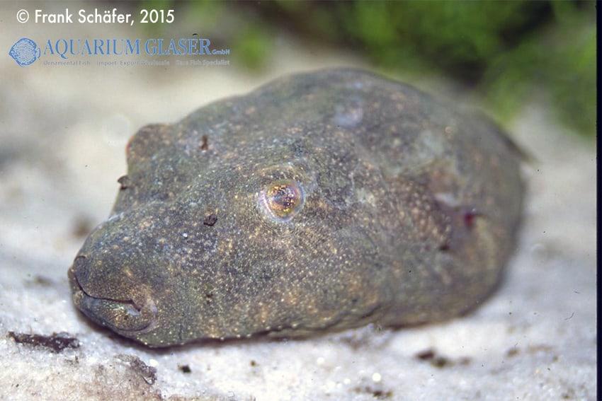 Tetraodon baileyi - Fetzen-Kugelfisch 10