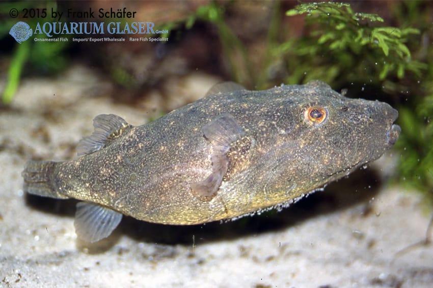 Tetraodon baileyi - Fetzen-Kugelfisch 11