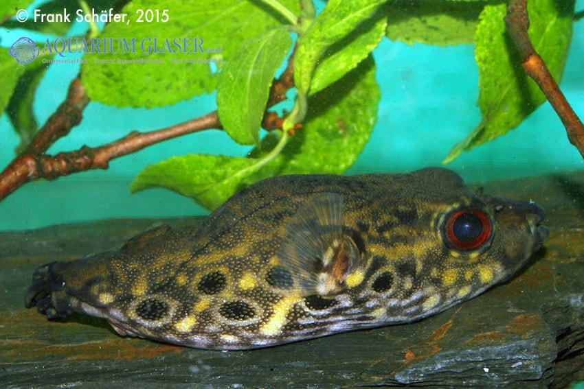 Tetraodon palembangensis - Echter Palembangkugelfisch 2