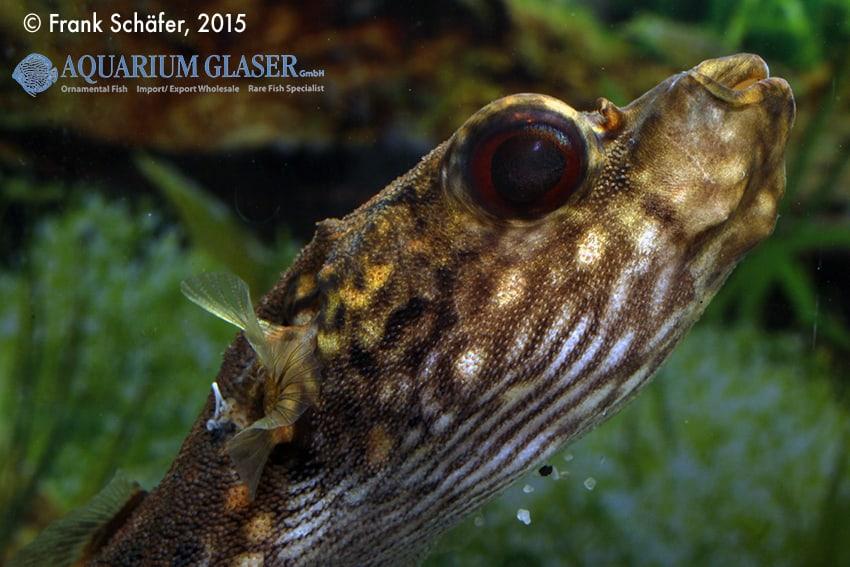 Tetraodon palembangensis - Echter Palembangkugelfisch 3