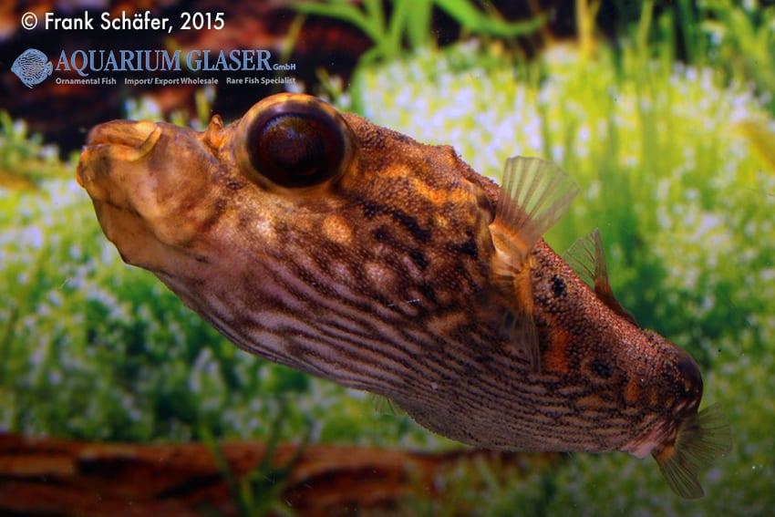 Tetraodon palembangensis - Echter Palembangkugelfisch 5