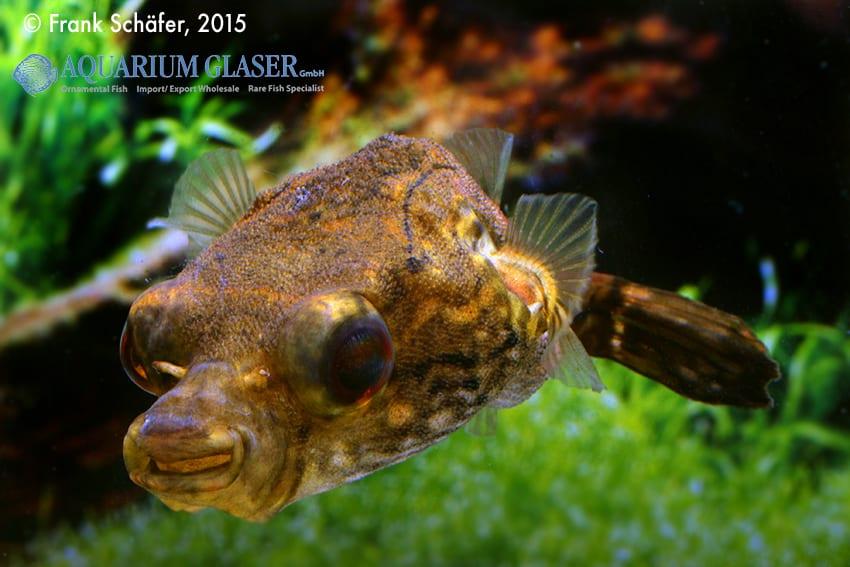 Tetraodon palembangensis - Echter Palembangkugelfisch 6