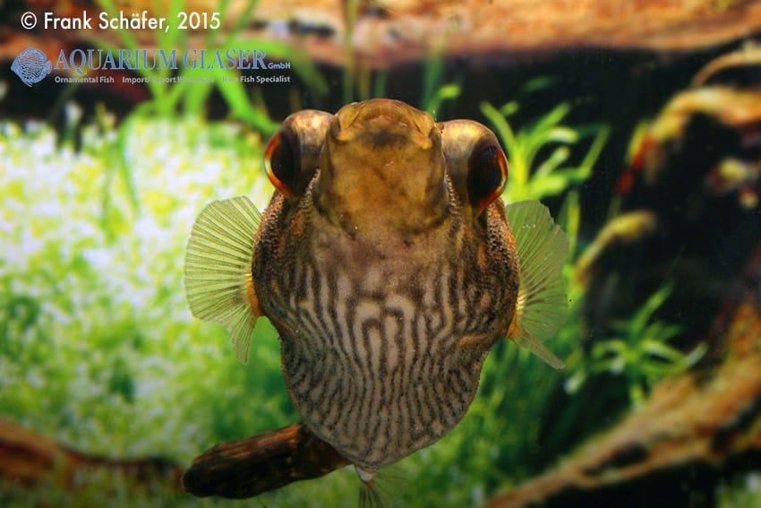 Tetraodon palembangensis - Echter Palembangkugelfisch 8