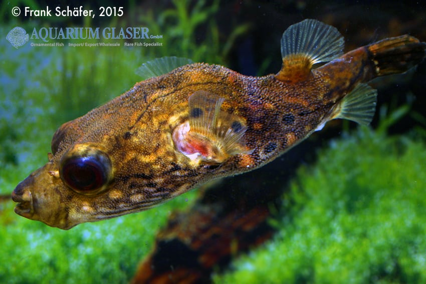 Tetraodon palembangensis - Echter Palembangkugelfisch 10