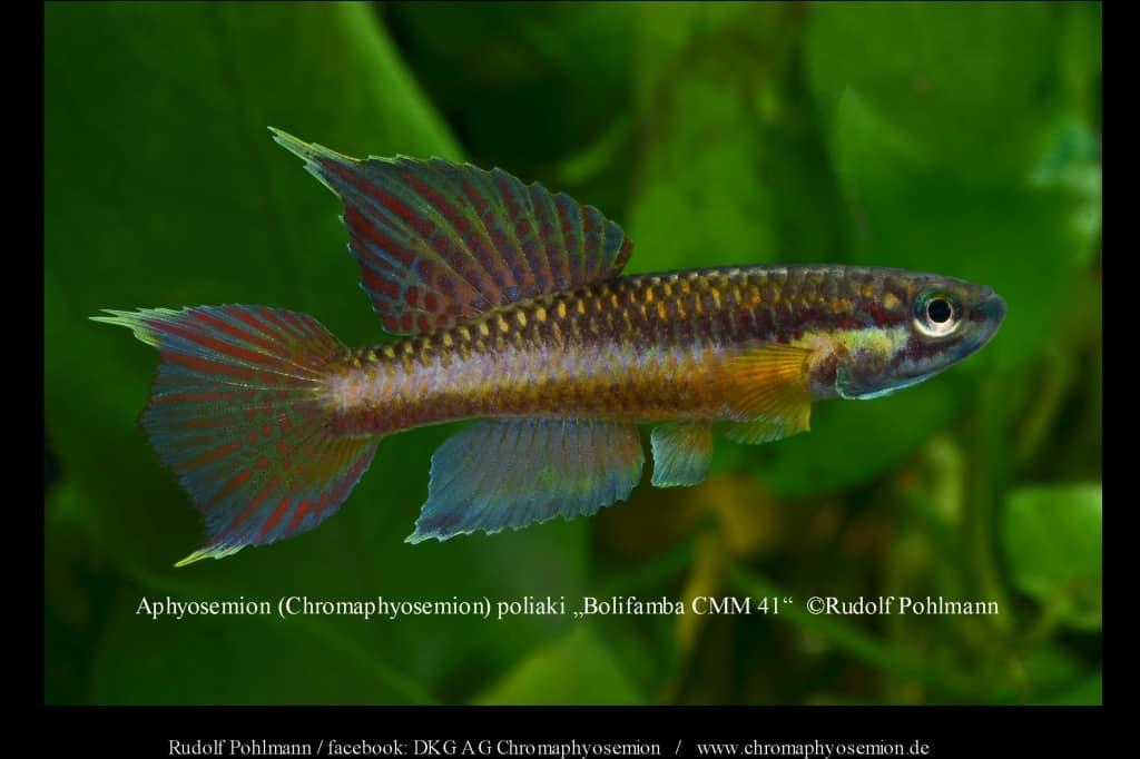 Aphyosemion (Chromaphyosemion) poliaki - Poliaki Zweistreifen Prachtkärpfling 11