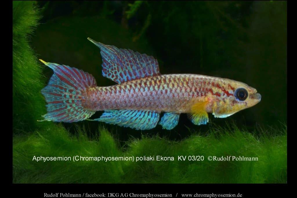 Aphyosemion (Chromaphyosemion) poliaki - Poliaki Zweistreifen Prachtkärpfling 8