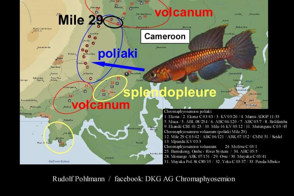 Aphyosemion (Chromaphyosemion) poliaki - Poliaki Zweistreifen Prachtkärpfling 9