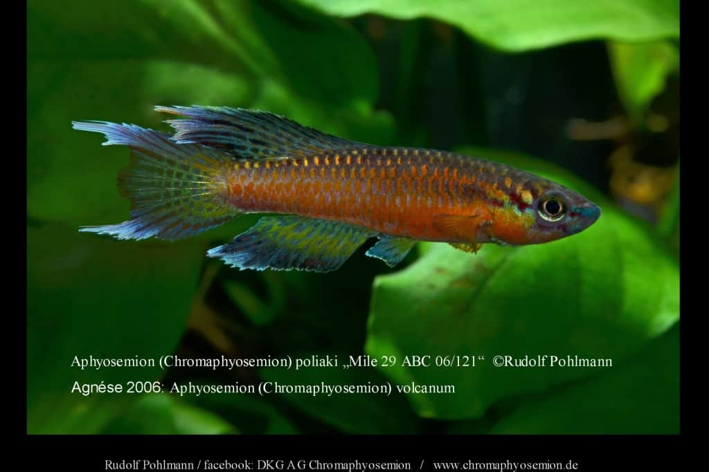 Aphyosemion (Chromaphyosemion) poliaki - Poliaki Zweistreifen Prachtkärpfling 10
