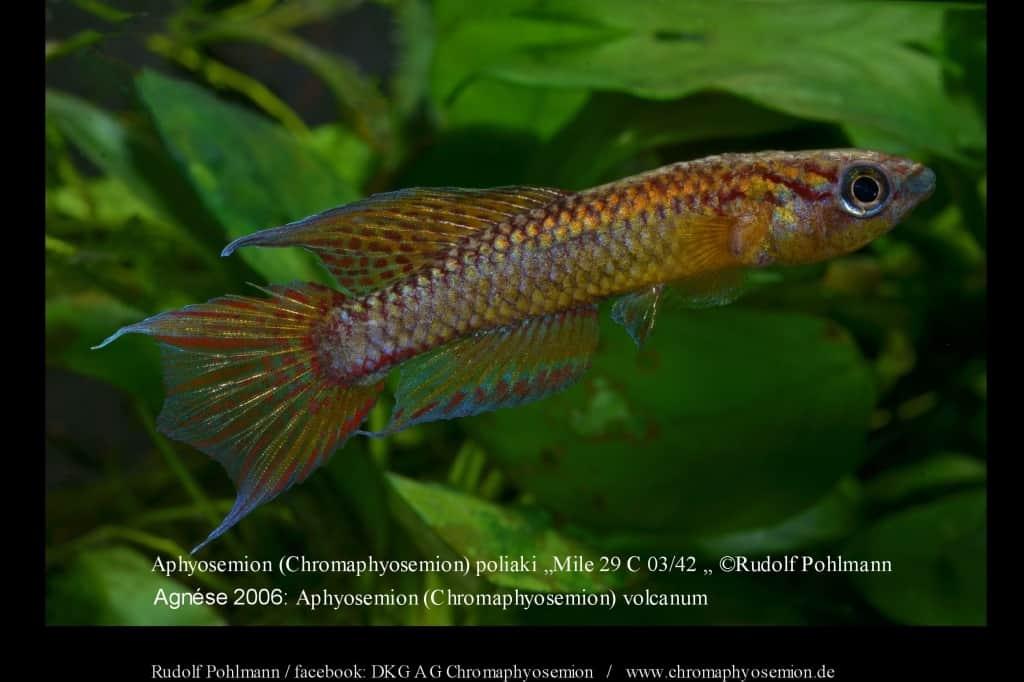 Aphyosemion (Chromaphyosemion) poliaki - Poliaki Zweistreifen Prachtkärpfling 5