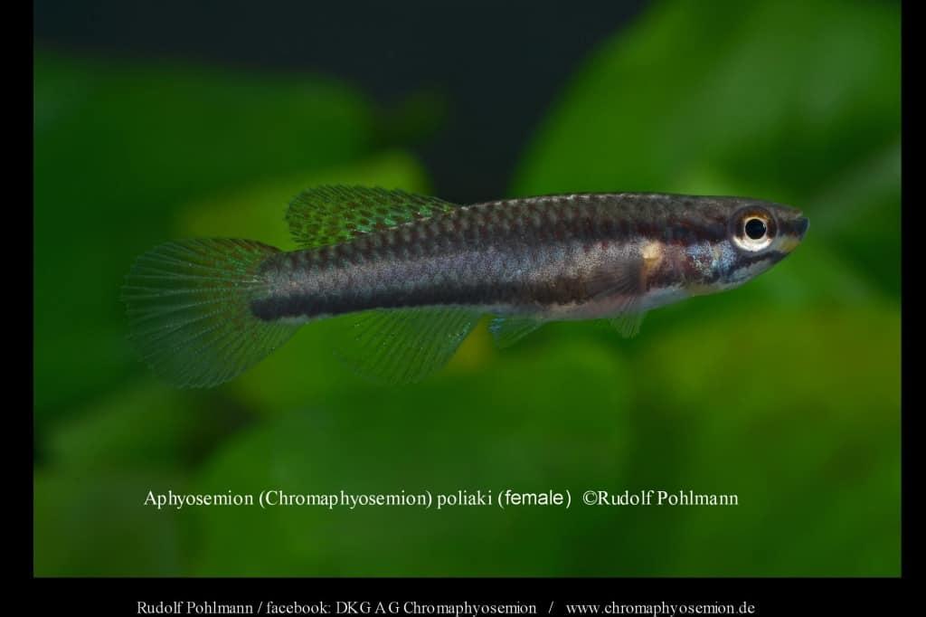 Aphyosemion (Chromaphyosemion) poliaki - Poliaki Zweistreifen Prachtkärpfling 4