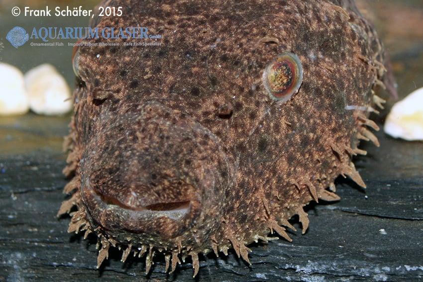 Tetraodon baileyi - Fetzen-Kugelfisch 2