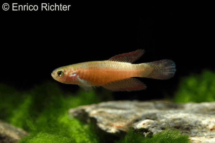 Männchen - Quelle: aqua-global - Dr. Jander & Co. OHG