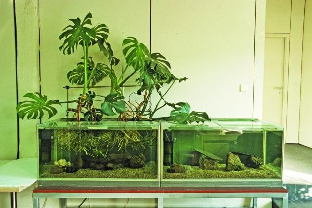 Foto: Zu den größeren Fischen der Anlage gehört ein Gelber Seebader (Zebrasoma flavescens). A. Moss