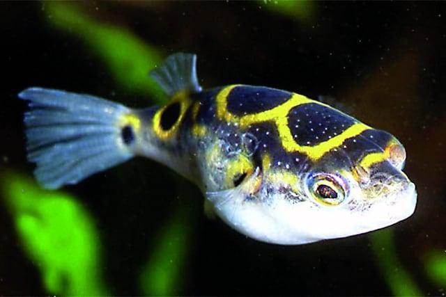 Foto: Der Palembang-Kugelfisch heißt jetzt Dichotomyctere ocellatus. F. Schäfer
