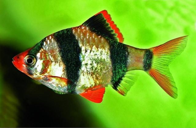 Foto: Puntigrus anchisporus. E. Schraml