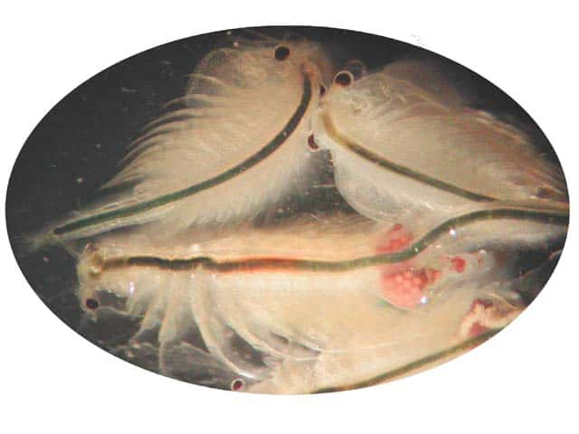 Foto: http://www.afsc.noaa.gov/kodiak/shellfish/cultivation/artemia.htm
