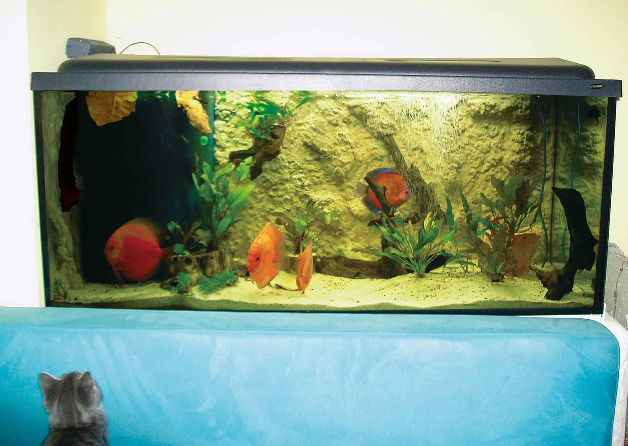 """Das Aquarium ist zwei Wochen eingelaufen und die Fische ziehen ihre Runden in dem neuen Becken. Katzenbaby """"Smokey"""" findet Fische toll und beobachtet in seiner Freizeit am liebsten das Aquarium. Foto: © Michael J. Schönefeld"""