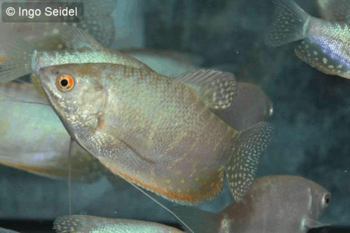 Trichogaster trichopterus fadenfisch silber moonlight for Fadenfische zucht