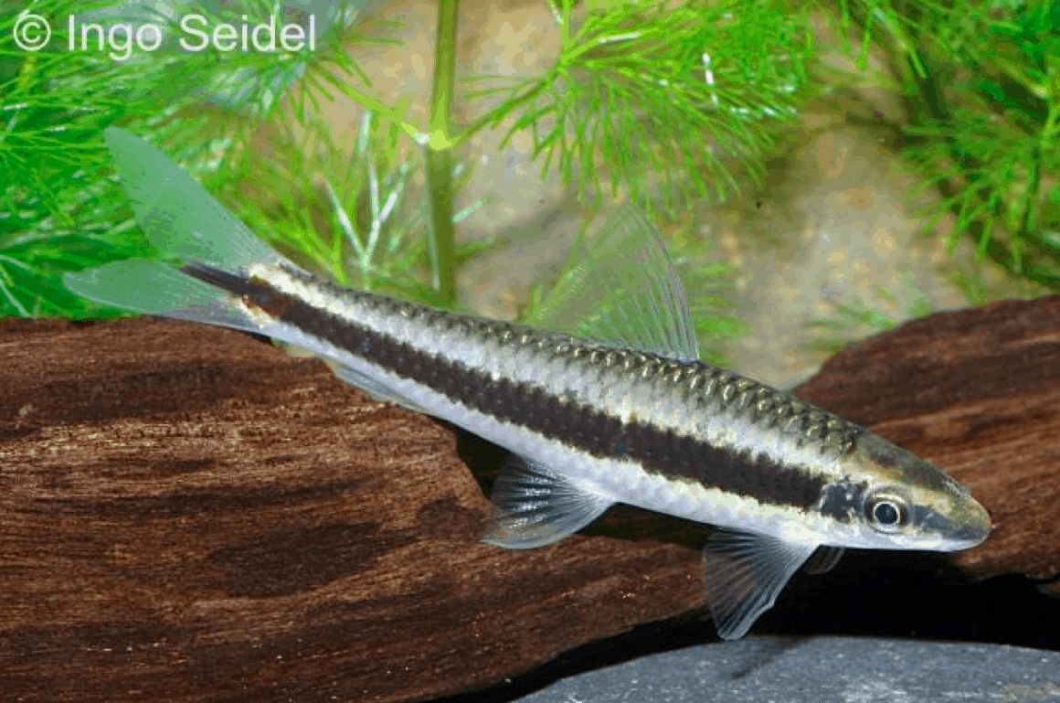 Interessante Aquarienbewohner - Barben 9