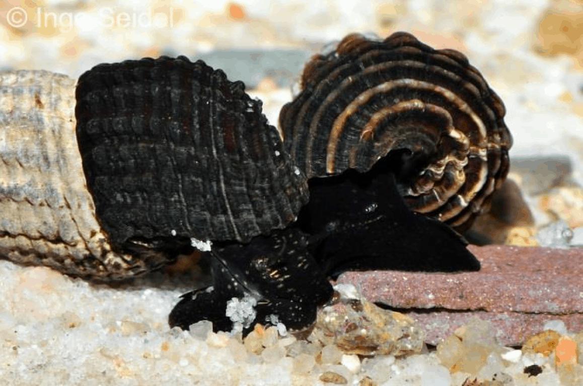 "Tylomelania sp. ""Black & White"" - Schwarz-weiße Felsschnecke 1"
