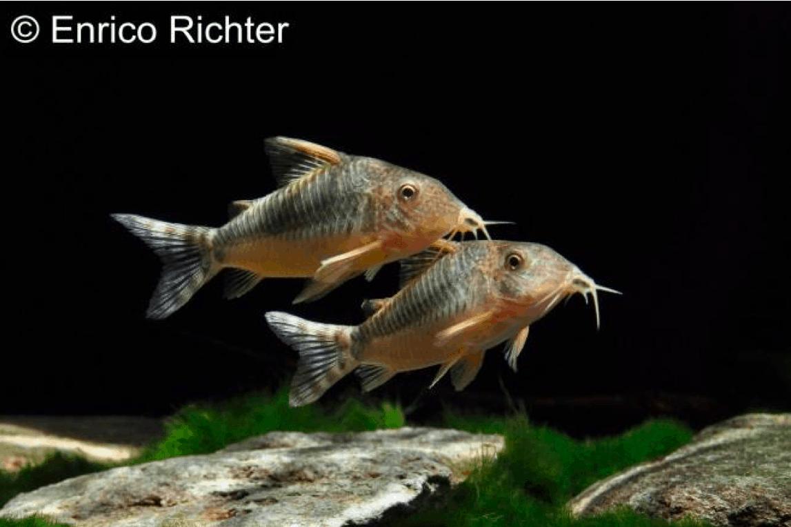 Corydoras seussi - Seuß´ Prachtpanzerwels 1