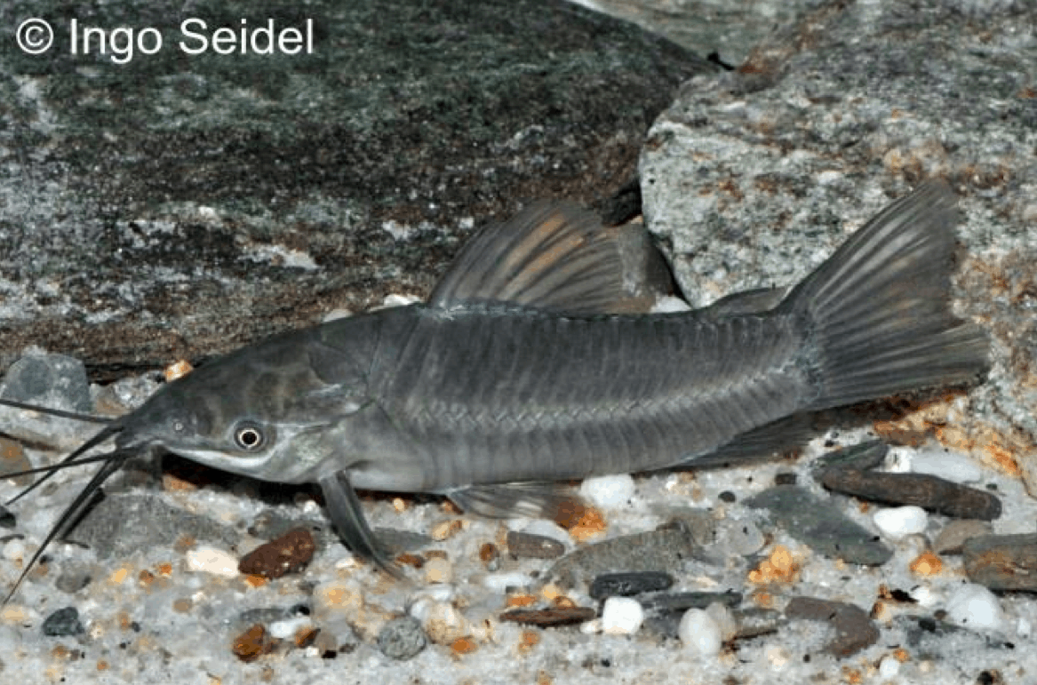 Hoplosternum littorale - Lehm-Schwielenwels 1